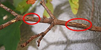 Periodical cicadas - Magicicada egg slits (circled in red)