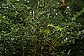 Cinnamomum tamala W IMG 2436.jpg