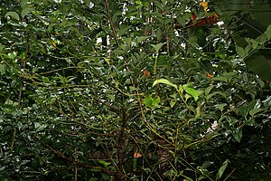 Cinnamomum tamala - Tree in Goa