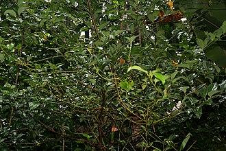 Cinnamomum tamala - Tree in Goa