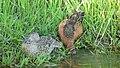 Cinnamon teal pair on Seedskadee National Wildlife Refuge (34955287522).jpg