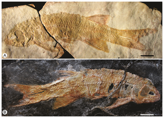 Halecomorphi Clade of fishes