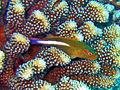 Cirrhitidae - Paracirrhites arcatus.jpg