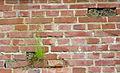 Citadelle de Lille 2013 plantes muricoles nichoir 04.JPG