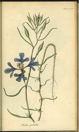 Clarkia pulchella - A painting of Clarkia pulchella by Frederick Pursh