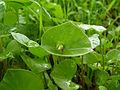 Claytonia perfoliata 000.jpg