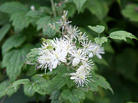 Clematis apiifolia1SHSU