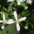Clematis terniflora (flower s7).jpg