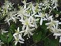 Clematis terniflora 01.jpg