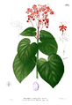Clerodendrum intermedium Blanco1.173.png