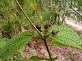 Clidemia hirta - Flickr - Tarciso Leão (1).jpg