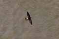 Cliff Swallow (Petrochelidon pyrrhonota) (7749645954).jpg