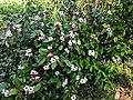 Climbing Oleander(Strophanthus gratus) 15.jpg
