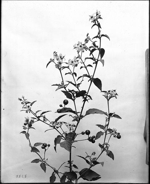 File:Close-up of a specimen of black or deadly nightshade (Atropa belladonna), ca.1920 (CHS-5525).jpg