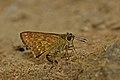 Close wing posture Mudpuddle activity of Halpe aucma Swinhoe, 1893 – Gold-spotted Ace WLB DSC 3229.jpg