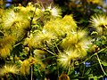 Closeup of Golden Rain tree flower.jpg