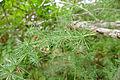 Cluster-leaf Asparagus (Asparagus laricinus) (17380592271).jpg