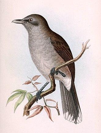 Fiji shrikebill - Clytorhynchus vitiensis heinei