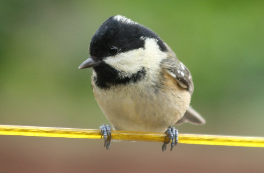 Coal tit (Periparus ater) on line.jpeg