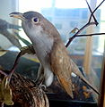 Coccyzus americanus - Southern Vermont Natural History Museum - DSC08506.JPG