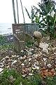 Cochon se nourrissant de déchets à Ribeira Peixe (São Tomé) (1).jpg