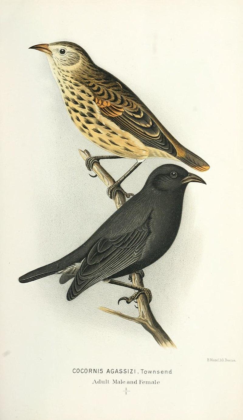 Cocornis agassizi = Pinaroloxias inornata, cocos finch.jpg