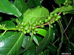 Coffea Arabica Healthy Plant Leaves and Berries.jpg