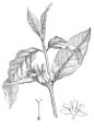 Coffea arabica 230-gray-cropped.jpg