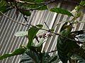 Coffea liberica (5598419030).jpg