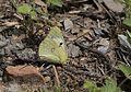 Colias sareptensis - Güzel azamet 02.jpg