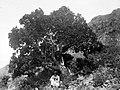 Collectie Nationaal Museum van Wereldculturen TM-10021341 Een jongen poseert voor een scheve boom die groeit op een berghelling Saba -Nederlandse Antillen fotograaf niet bekend.jpg