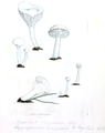 Coloured Figures of English Fungi or Mushrooms - t. 32.png