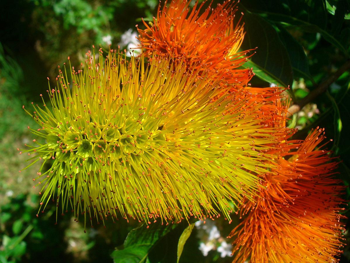 Combretum Fruticosum Wikipedia