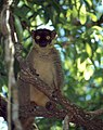 Common Brown Lemur (Eulemur fulvus) (45307292552).jpg