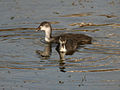 Common Coot (Fulica atra)- Juvenile in Hyderabad, AP W IMG 7586.jpg