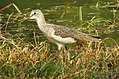 Common Greenshank Tringa nebularia by Dr. Raju Kasambe DSCN7043.jpg