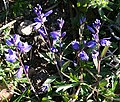 Common Milkwort (Polygala vulgaris) - geograph.org.uk - 418857.jpg