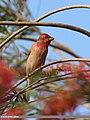 Common Rosefinch (Carpodacus erythrinus) (16825546128).jpg