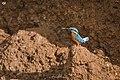 Common kingfisher kerala.jpg