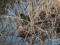 Common moorhen in the river - 1.jpg