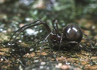 Anapidae Family of spiders