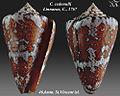 Conus cedonulli 1.jpg