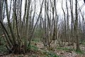 Coppiced trees, Great Britain's Wood - geograph.org.uk - 1255922.jpg