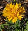 Coreopsisgrandiflora.jpg