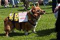 Corgi in Dog show in Morro Bay.jpg