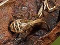Coriomeris denticulatus nymph 20130809 p23.jpg