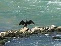 Cormoran en aval du barrage de Noisiel.jpg