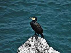 Cormorant at Berry Head, Brixham.jpg