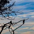Cormorants silhouette in La Jolla (70737)a.jpg