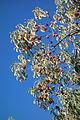 Cornus capitata - Quarryhill Botanical Garden - DSC03266.JPG